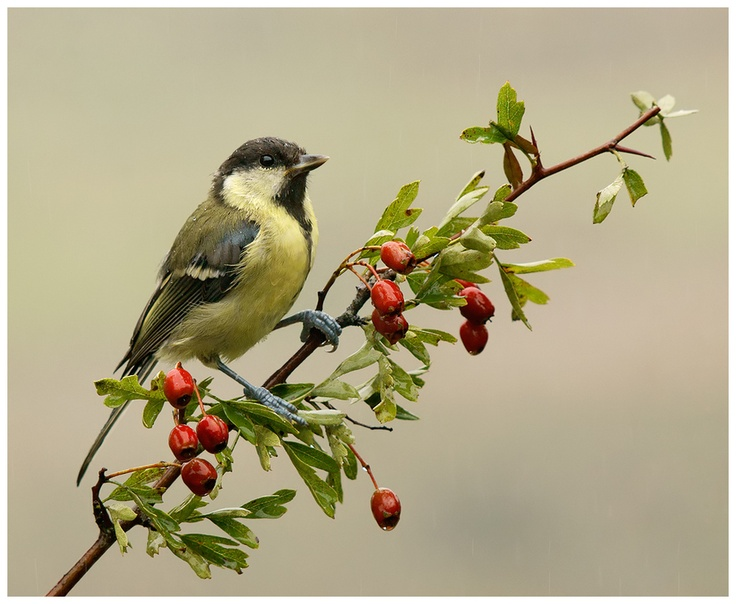 Young Great Tit by Geoffrey Baker, via 500px