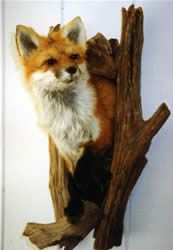 Mac's Taxidermy, Mooseheads for Sale, Taxidermy for sale, Taxidermy Mounts for sale, TODAY!