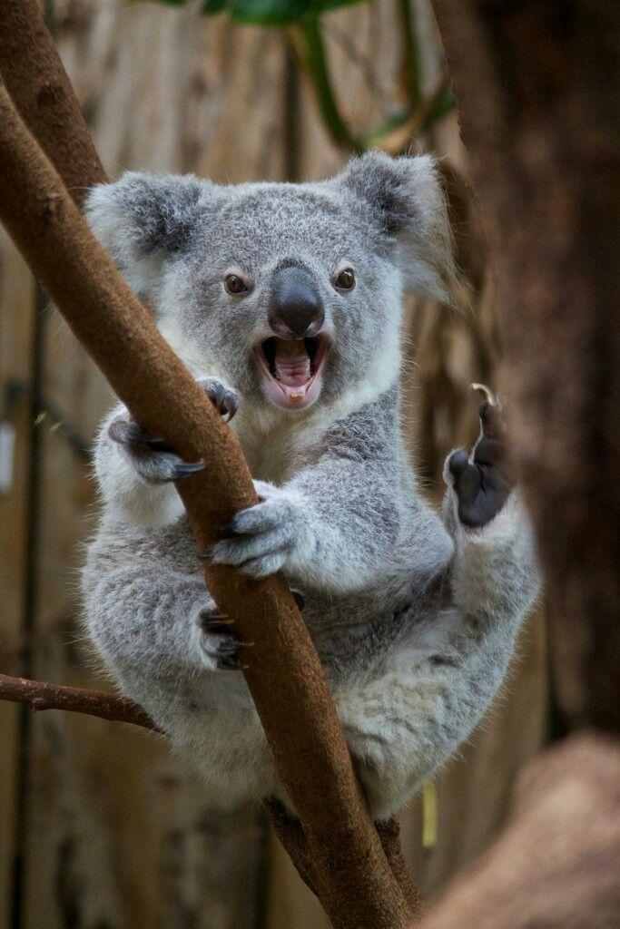 smiling koala picture - 600×900