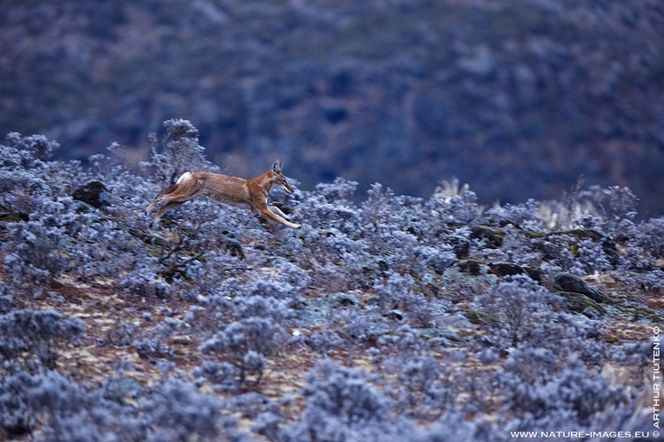 Young Ethiopian Wolf running