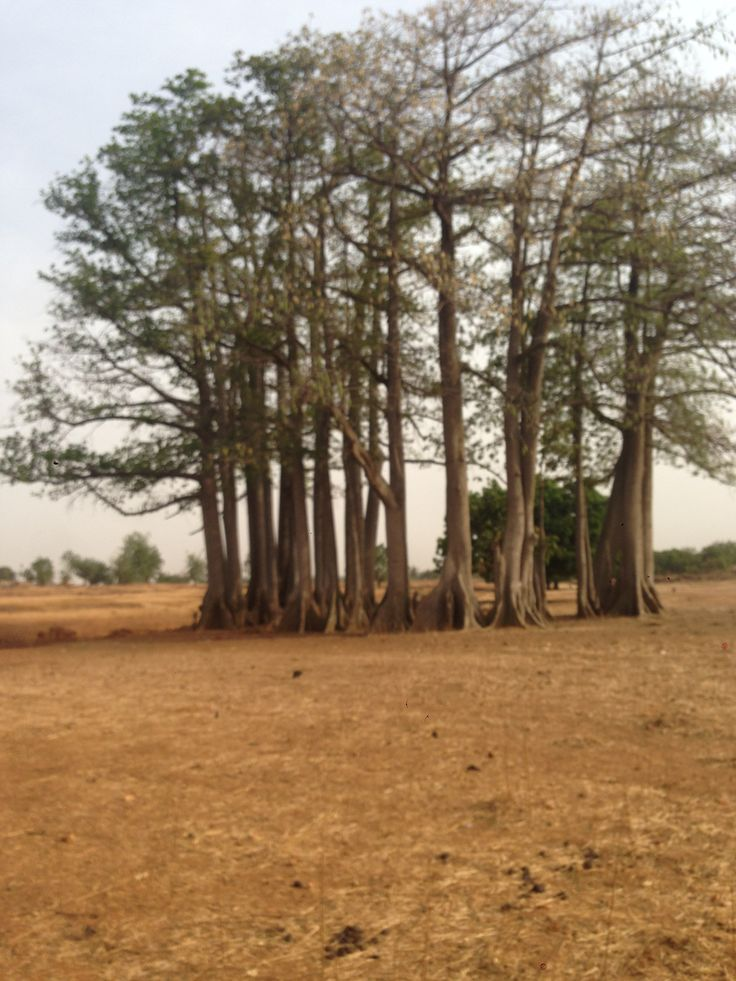 strange trees in burkina // sometimes the photo from the bus were not so easy to take...and sometimes having just an iphone to do them didn't helped...sigh
