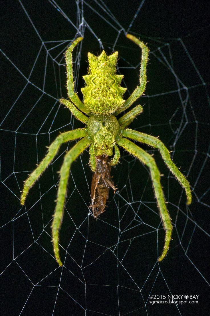https://flic.kr/p/xT5stj | Orb weaver spider (Parawixia sp.) - DSC_3824b | ID by pedro.bio222  sgmacro.blogspot.com