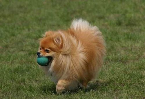 fluffy miniature dogs - photo #13