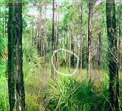 This photo was taken in 1997 by a fire fighter captain on the edge of the Florida Everglades.  This bigfoot relative is known as the Skunkape in the Florida area.  The Skunkape has been sighted numerous times and there have also been footprints found and cast.  It gets it's nickname from the power stench that often accompanies it.    Reported sightings of this creature go back 30 years.