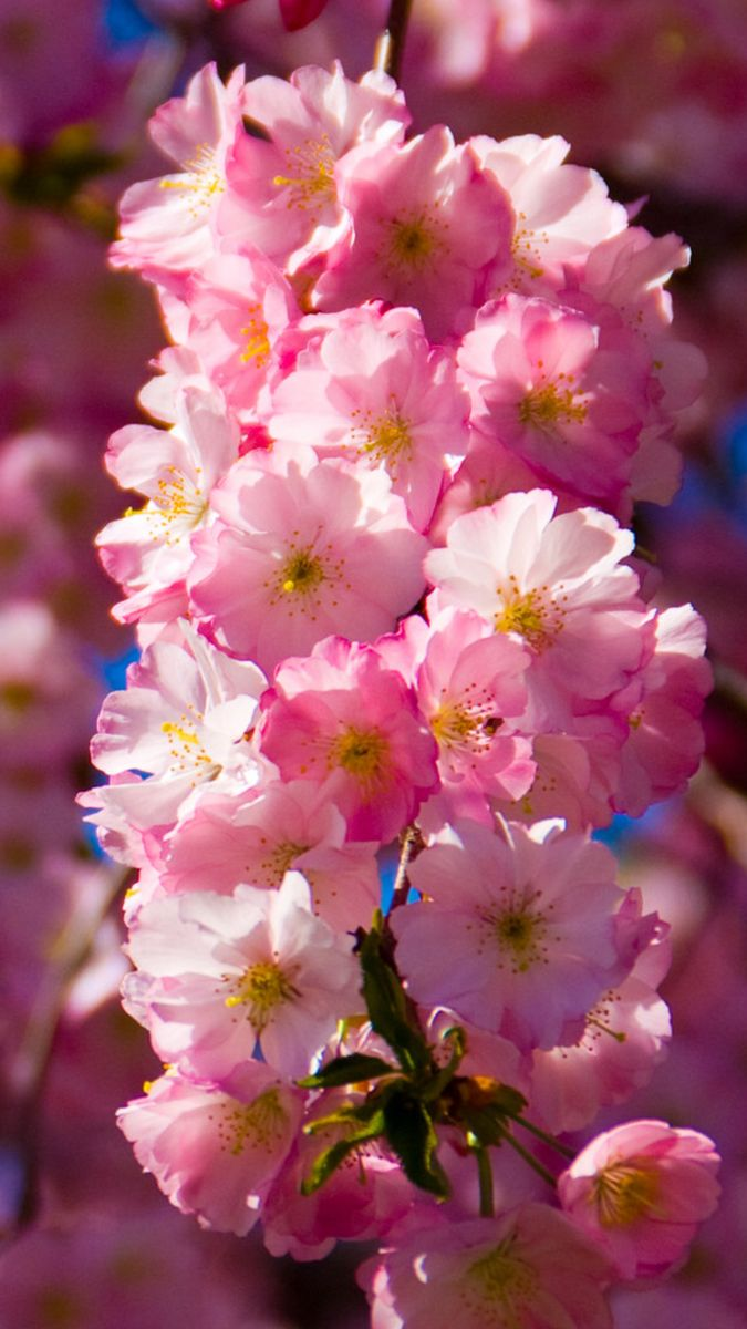 Cherry Blossom Branch In 2020 Cherry Blossom Branch Purple Orchids Wholesale Flowers