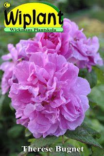 Therese Bugnet växer till ca 2 meters höjd. Blomknopparna är avlånga och röda och öppnar sig till ljusa och täta blommor på ca 7-10 cm i diameter. Blomningen fortsätter under hela sommaren och hela busken får fina nypon och vacker höstfärg på hösten. härdig till USDA zon 2 (-40C) och klarar sig hos oss utan täckning. Therese Bugnet kan också odlas som rotäkta stamros utan problem.