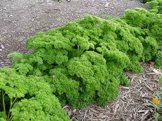 Parsley Compound kills 86% of Lung Cancer Cells and reverses COPD, a condition that Allopathic Medicine claims there is no cure for. | EndoRiot