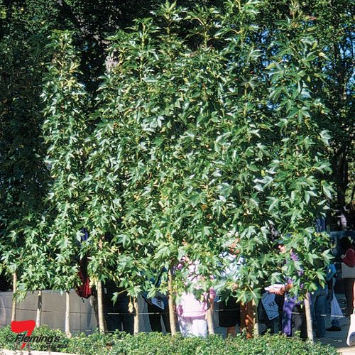 Liquidambar styraciflua 'Oakville Highlight' (PBR) - a stunning very narrow and upright form of oak, the Oakville Highlight is another super tough liquidambar that makes a fabulous screen, avenue or windbreak planting in a coastal climate.