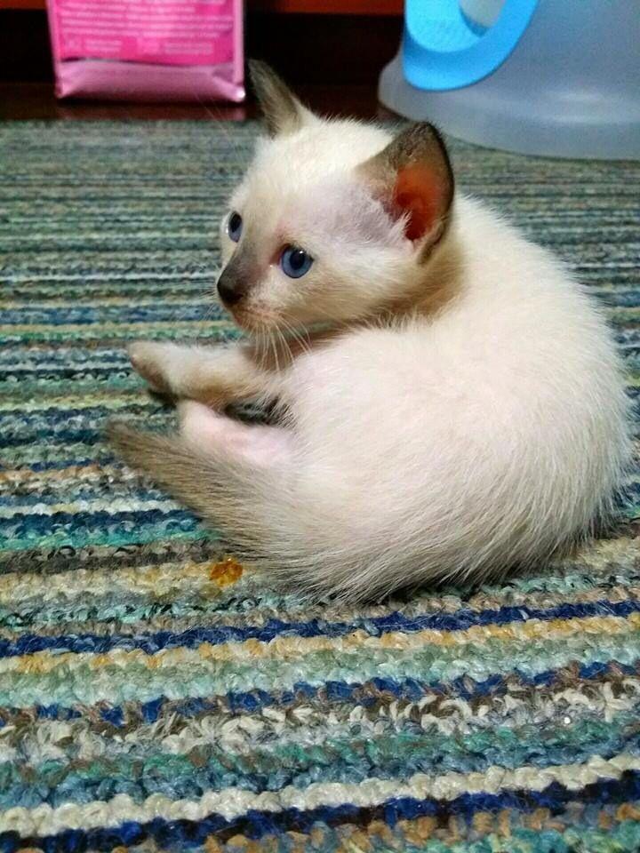 Wichian Mas Kitten