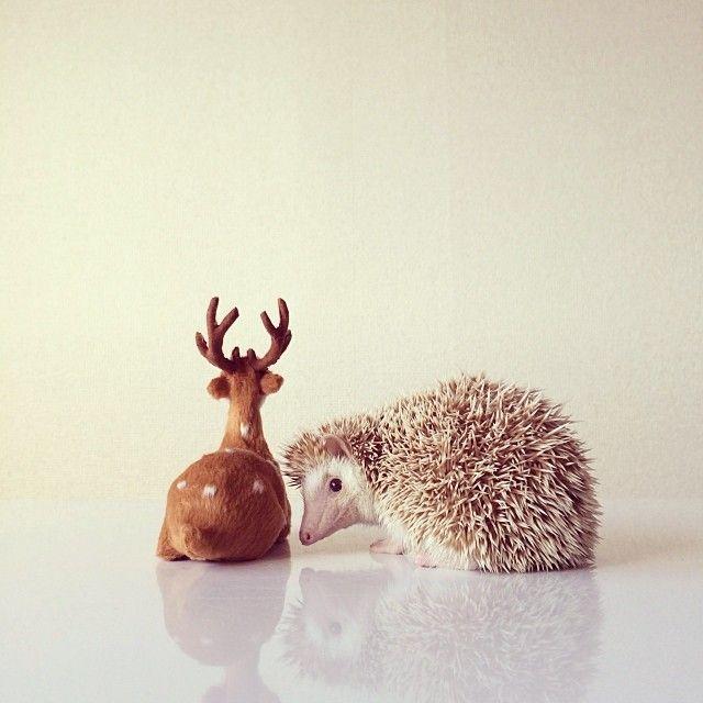 Best Darcy The Flying Hedgehog Images On Pinterest Instagram - Darcy cutest hedgehog ever