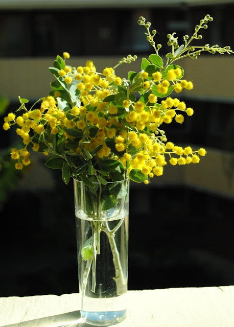 vase of Golden Wattle - when it catches the sunlight, it glows