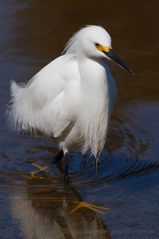 Snowy Egret - Nova Scotia