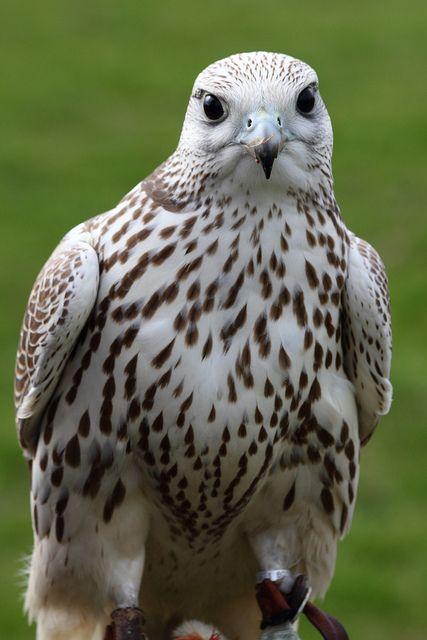 Mejores 1439 imágenes de Falcão en Pinterest | Aves rapaces ...