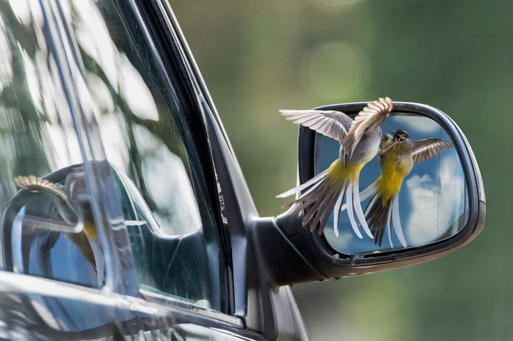 A grey wagtail attacks his reflection – the winner in the animal behaviour category in this year's British wildlife photography awards. Photograph: Robin Orrow/BWPA/PA