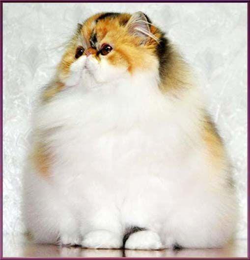 TOY TRICKSY персидские и экзотические кошки persian exotic cats