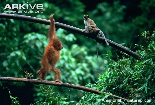 Inquisitive juvenile Sumatran orangutan with macaques