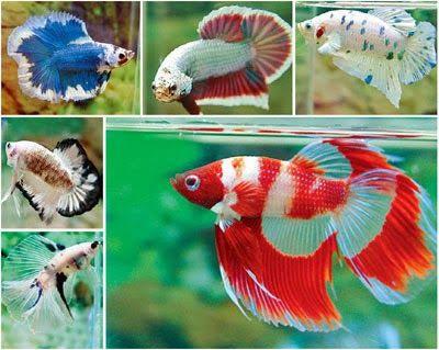 О Бойцовая рыбка: Полумесяц Бойцовая рыбка