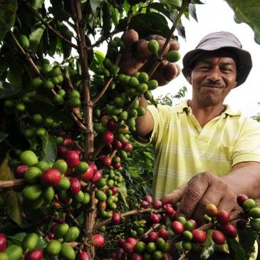 Pic by Neil Palmer (CIAT). A coffee farm worker in Cauca, southwestern Colombia.