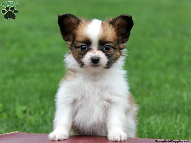 Papillon+Puppies | Papillon Puppies For Sale In PA!