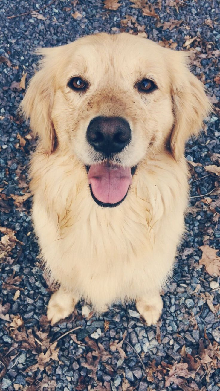 Golden Retriever Why Are They The Perfect Pets Cute Puppies