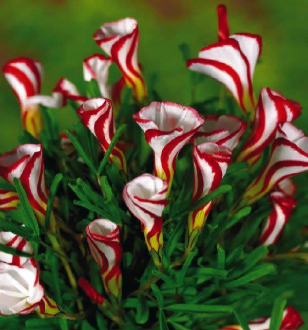 送料無料カタバミ癜花種子150ピース世界のレア花用ガーデンホーム植栽o。癜花semillas