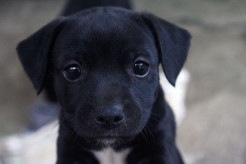 cute black lab puppies awwww cute animal pics pinterest puppys round eyes 7205