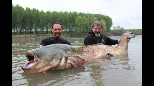 Un enorme pesce gatto trovato e filmato nel fiume Po: successivamente viene rilasciato.   Fonte: https://www.youtube.com/watch?v=9SmwwsdwzHE
