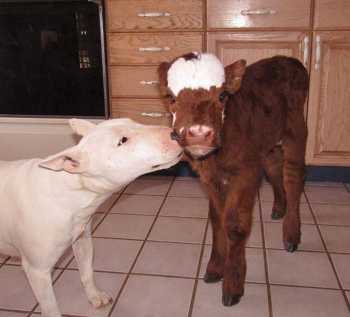 Una vaca en miniatura es rescatada de un mercado de subastas de ganado. En su nuevo hogar, el Refugio Rocky Ridge, ha encontrado a su familia ideal, ¡doce perros que la adoran! Ella, al ser un bebé, se cree que es un perro más y es que los animales no entienden de diferencias sino de amor. Os contamos su historia en esta mágica galería: