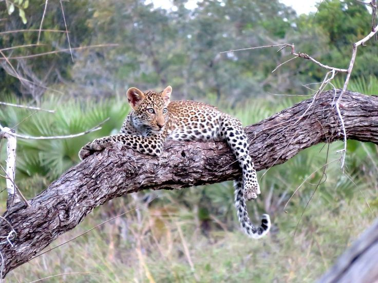 Leopards protect their food by bringing it high into the trees, sometimes leaving it there for days until they are hungry.