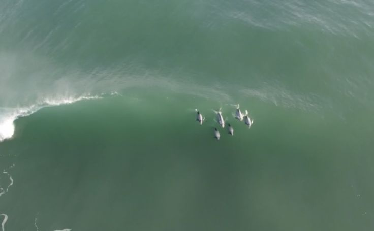 Hector's dolphins surfing every wave of a five wave set