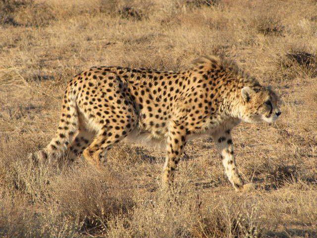 The only remnants of the Asiatic Cheetah in Iran