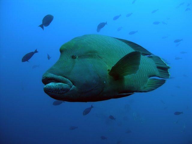 Napolean Wrasse in the Maldives ~   marine life 1 ...