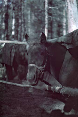 Hevonen katoksessaan Pienen Karmanlammen rannalla. Kuvattu 12.-13.10.1941. Hanhijärvi-Vermajoki SA-KUVA