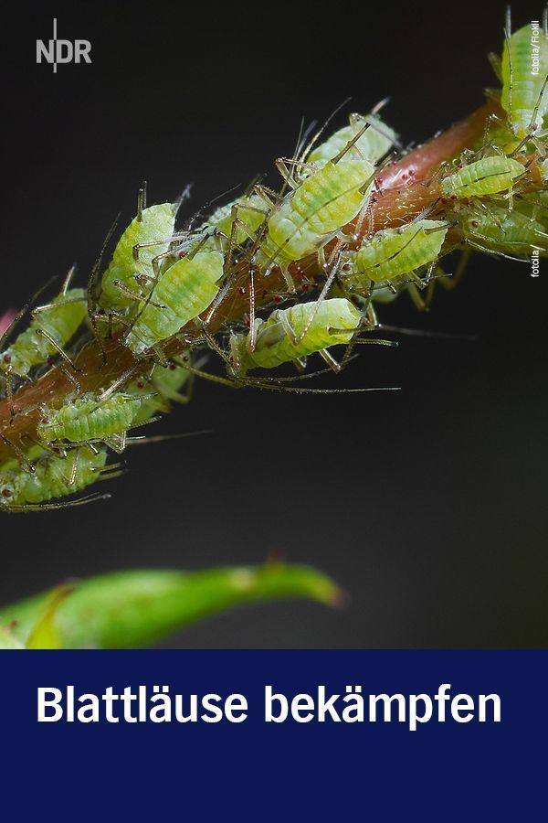 Blattlause Erkennen Und Ohne Chemie Bekampfen Bekampfen Blattlause Blumen Chemie Erkennen Ohne U Garten Pflanzen Schadlinge Im Garten Garten