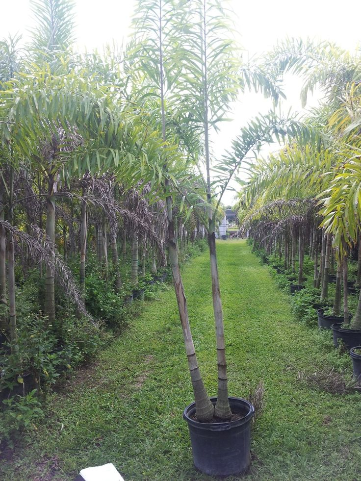 Florida Palm Trees - Florida Southern Florida Palm Trees Drought Tolerant FL Palms RealPalmTrees.com Buy Florida Palm Trees #FloridaPalms #FloridaPalmTrees #BuyFLPalms FL Palms WHolesale - Foxtail Palm Tree Double Stem Palms