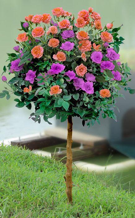 Melon & Purple Sunblaze Patio Rose Tree