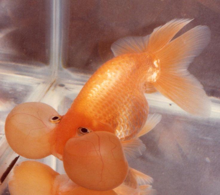 Bubble Eye Goldfish bred by Rick Graham