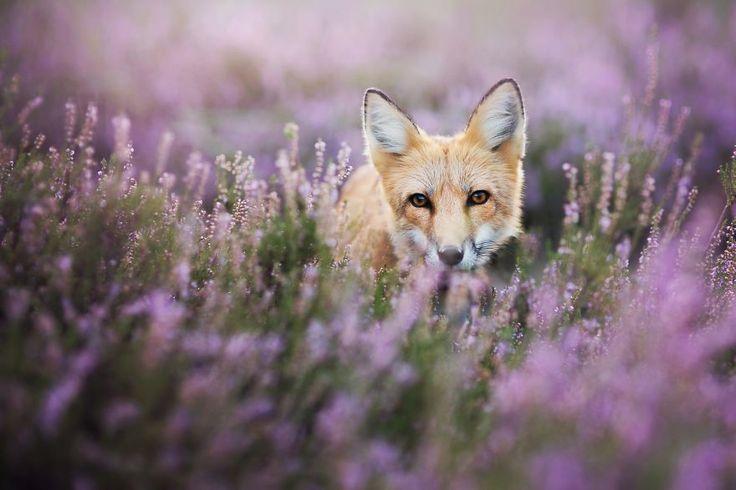 Freya-ce-magnifique-renard-domestique-par-Iza-lyson-7