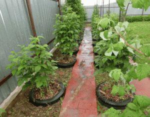 Один опыт выращивания малины