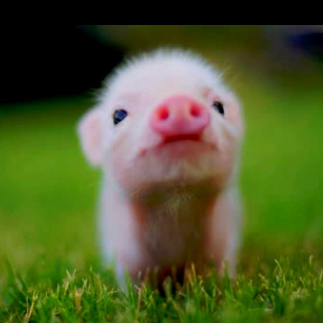 I love baby pigs:)