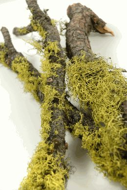 """Duck Dynasty Party   Moss and Wolf Lichen Branches 17""""-19""""  long $4 each / 3 for $3 each    save-on-crafts.com"""