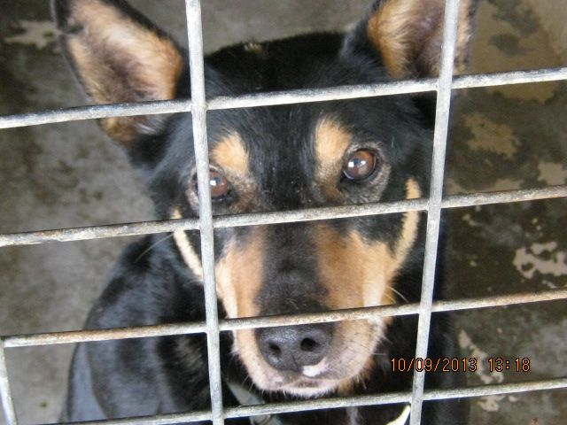 Gallery of council pounds and their impounded animals - Rescue Rex 811 Kelpie WAGGA WAGGA POUND DEATH ROW