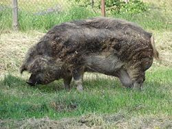 Mangalitsa (US spelling), Mangalitza (UK spelling) or Mangalica (original Hungarian spelling) is a name for three breeds of pig bred especially in Hungary known also as a curly-hair hog. It belongs to European unimproved lard-type breeds (as well as Iberian Black and Alentejana pigs) that are descended directly from wild boar populations
