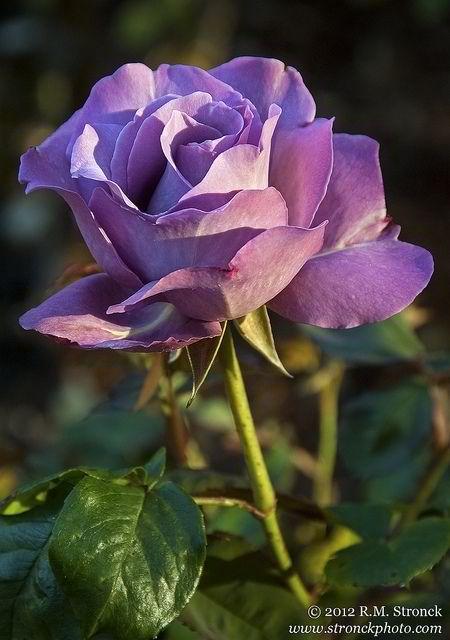 Royal Amethyst Rose - ROSAS ROXAS OU VIOLETAS ............ Significa calma, auto-controlo, dignidade e aristocracia. É a cor da dignidade, do mistério, da aristocracia, da ausência de tensão, porém pode lembrar a violência, a agressão. Exemplos: hortênsias, amor-perfeito.