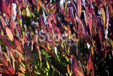 Akeake, the Purple-leafed Hop-bush (Dodonaea Viscosa) Royalty Free Stock Photo