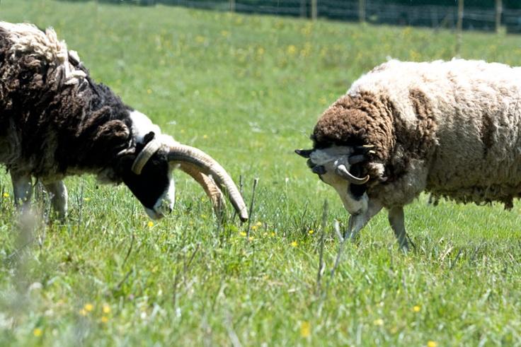 Madame & Monsieur Mouton de Jacob dans la verte prairie du Domaine du Martinaa et ses Gîtes en Normandie www.martinaa.fr