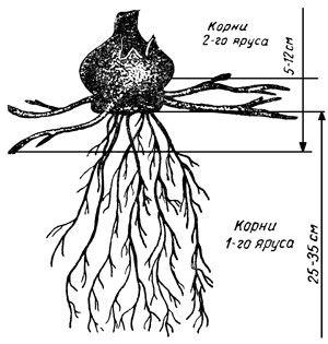 Гордый цветок – гладиолус  1