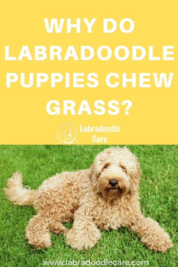 Why Do Labradoodle Puppies Chew Grass Labradoodle Puppy Labradoodle Puppy Chewing