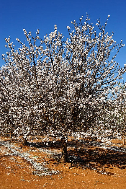 Fruit trees at Merbein, Vcitoria, Australia.    © Darren Stones  All Rights Reserved     How to find information about fruit trees?