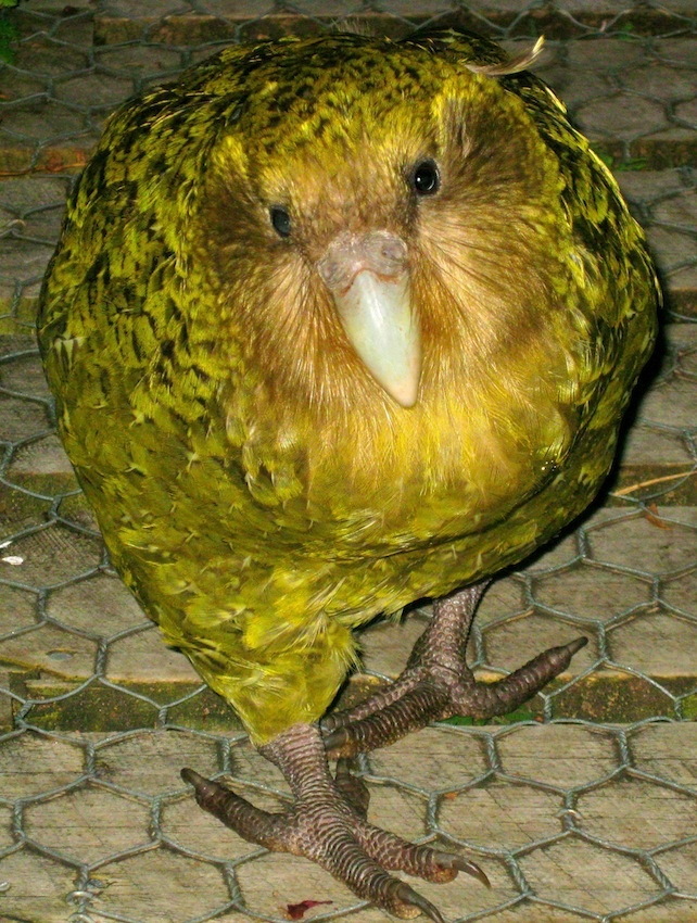 One of the most endangered birds in the world - our very own parrot, the kakapo. This is Rooster on Anchor Island, who we met in 2010 but who has sadly passed on now :(